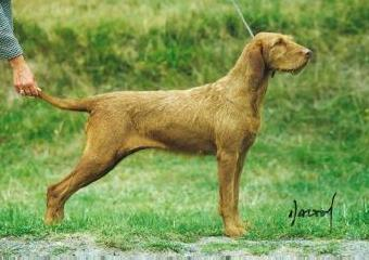 Wire Haired Hungarian Vizsla Wire Haired Hungarian Vizsla