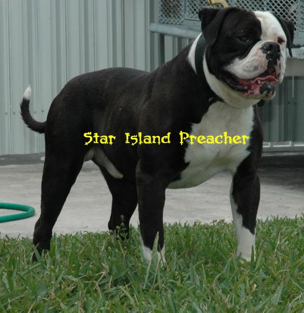 Long Island American Bulldog Breeders
