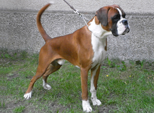 Brazil optima grata for Boxer jardin de passiflore