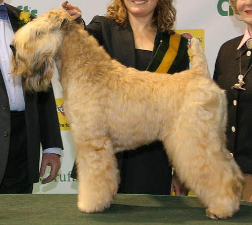 CRUFTS08(BIG),CH USA Caraway CELEBRATE LIFE
