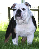 Joyful Acre's Mighty Trinity (AKC English Bulldog)