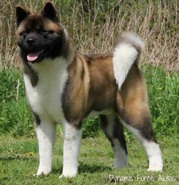BIS BISS GCH WW2014 Dynamic Force Sharp Dressed Man with Ruthdales