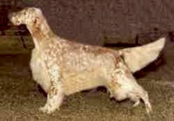 CH (AKC) Five Oaks Pistol Pete