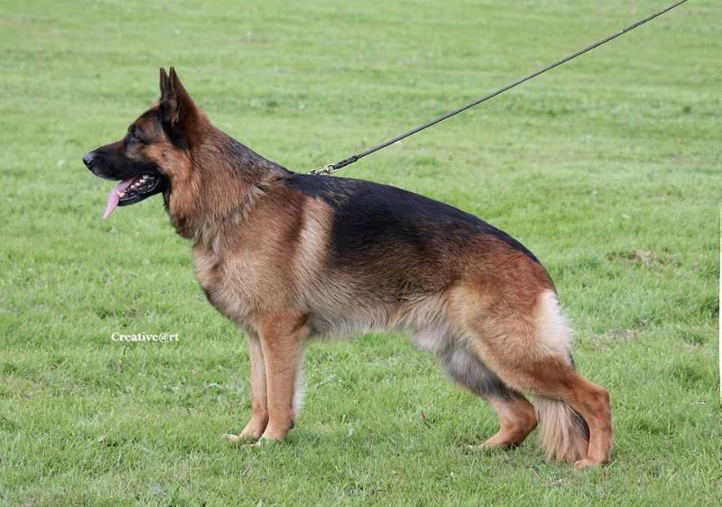 UK Champion, British Youth SGR 2014, Vice Adult Sieger 2015 Clynalwin's Kayson
