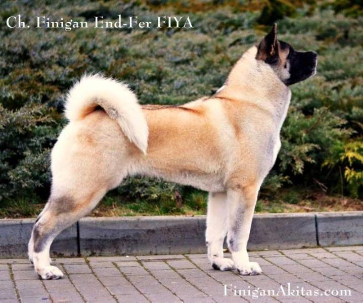 Champion Finigan End-Fer Fiya