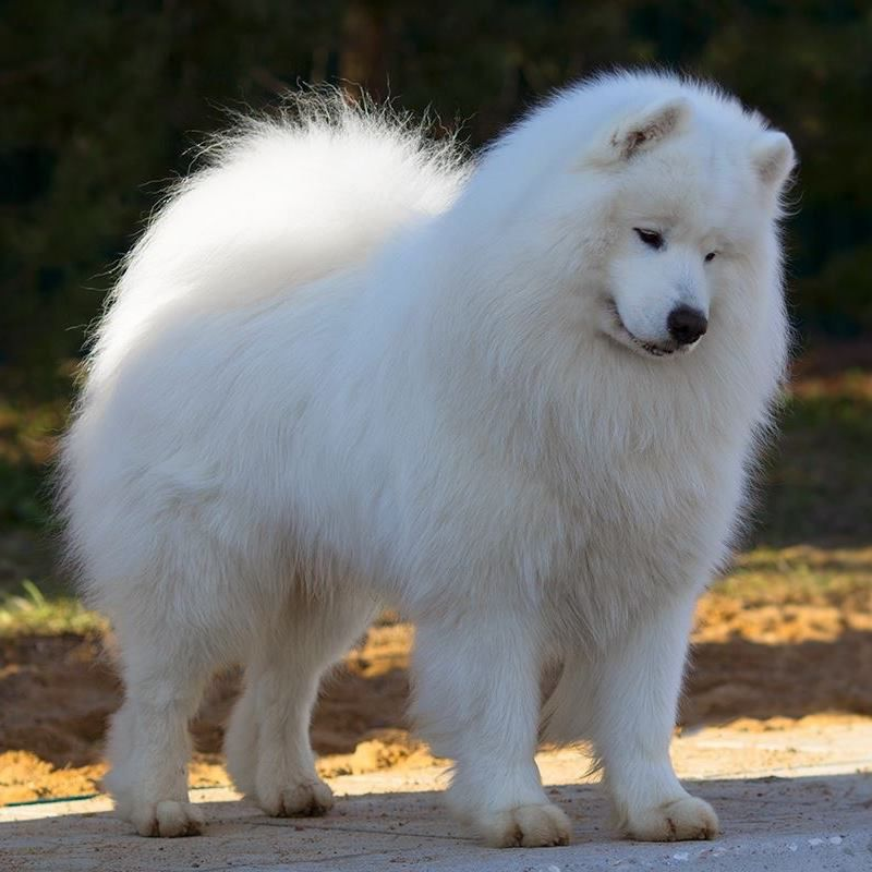 Samoyed For Sale >> Radost Zhizni Avalanche Snow