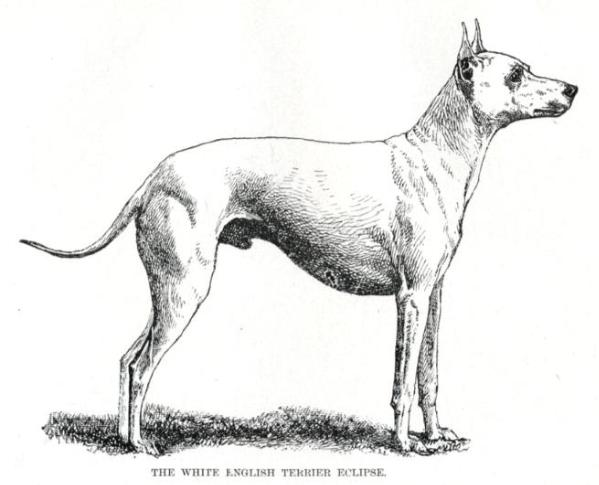 Eclipse (c.1900) [English Toy Terrier]