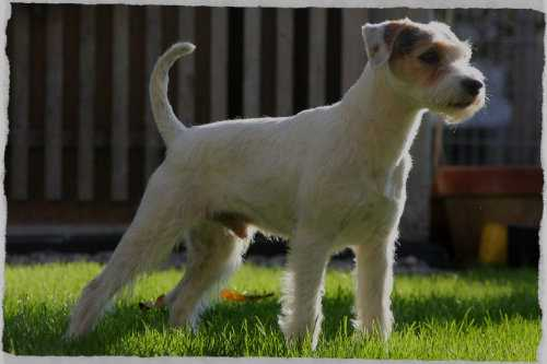 Parson Russell Terrier Growth Parson Russell Terrier