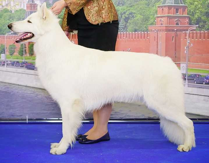 CH RU,Multi CH,INT CH,GrandCH ,CH the national club of breed BEL ETUAL ORSO