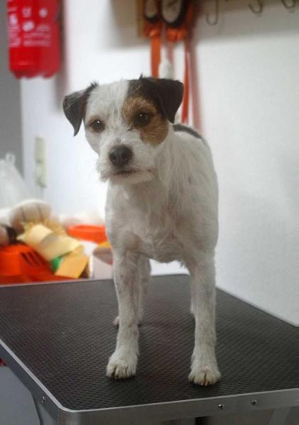 parson terrier color