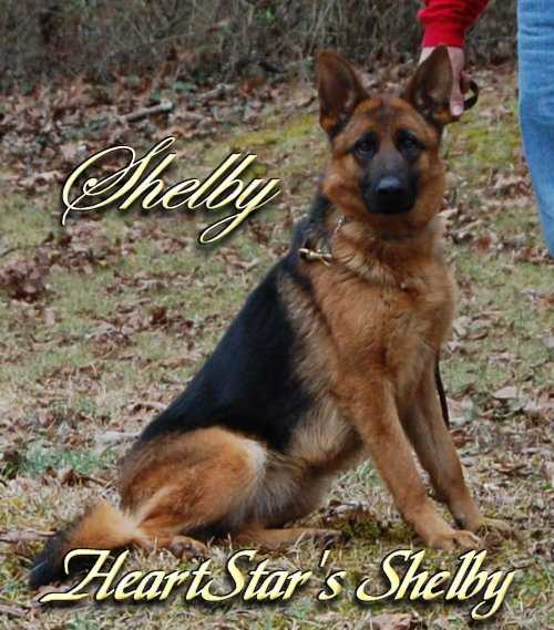 HeartStar's Shelby