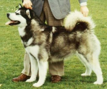 AM/CAN CH Kooskia's Catawba Chukchi