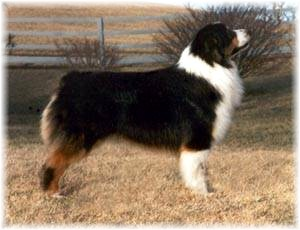 AKC CH Everlastings Caped Crusader