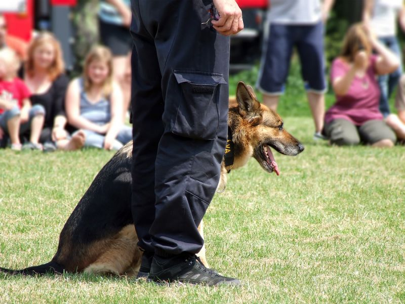 German Shepherd at SCCH trial